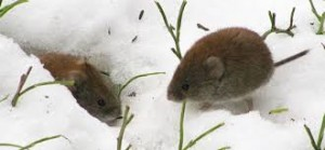 beware vole damage in winter